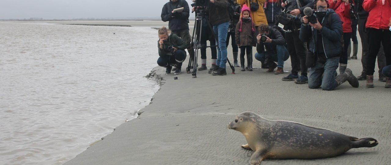 Jeudi 29 octobre 2020, deux jeunes phoques ont été relâchés dans la baie du Mont-Saint-Michel (Manche). (©La Gazette de la Manche)