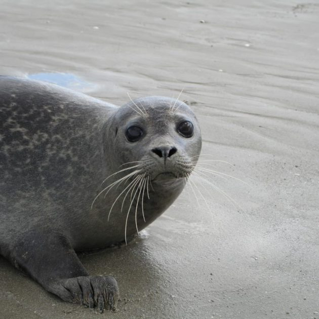 phoque veau marin baie