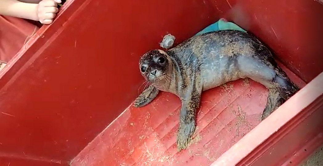 Bébé phoque veau-marin